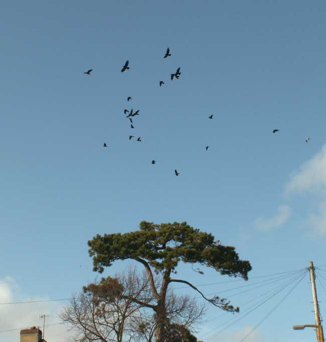 Noisy commotion between the Rooks and Jackdaws with a few Herring Gulls and Black-headed Gulls joining in