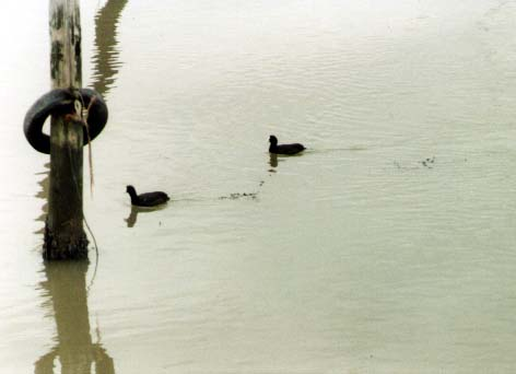 Coots on the River Adur (Photograph by Andy Horton)