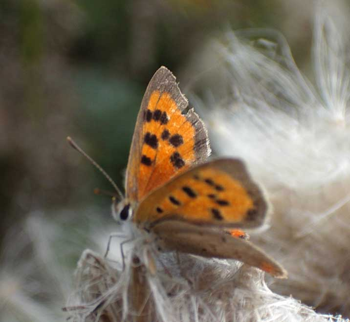 Small Copper Butterfly (Photograph by Andy Horton)