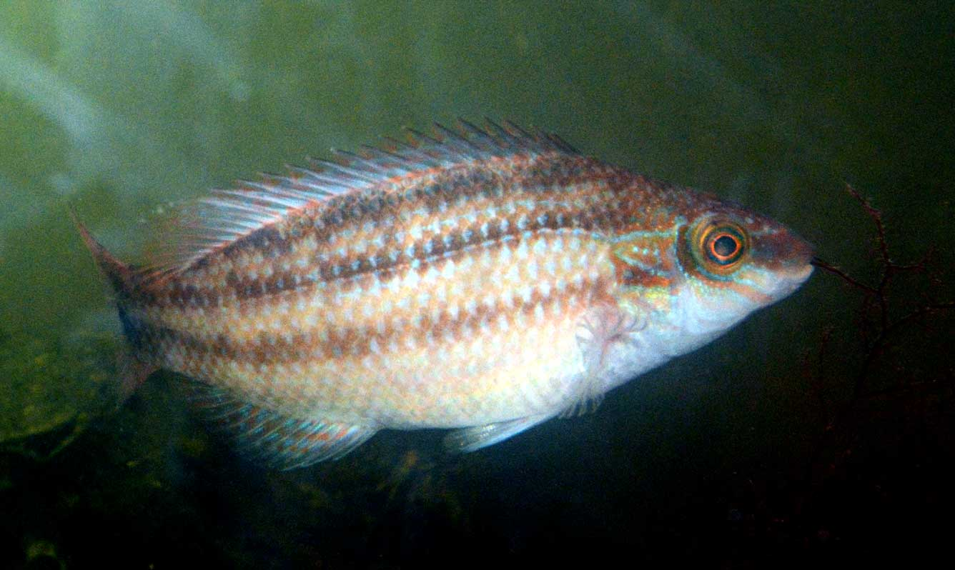 Corkwing Wrasse (photographed in my aquarium, October 2014)