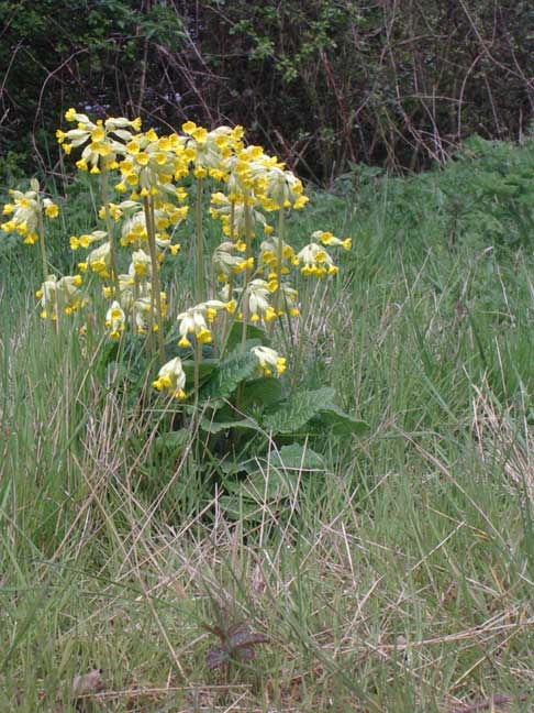 Cowslips on the verges of the cyclepath
