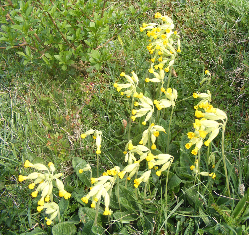 Cowslips on Mill Hill