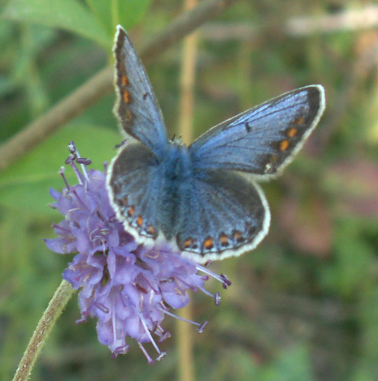 Common Blue (female) on the lower slopes of Mill Hill