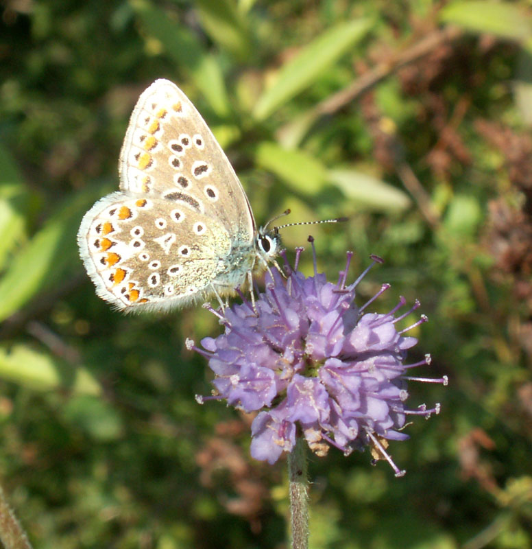 The female Common Blue showing the unusual crescent shape spot on the fore underwing