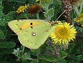 Clouded Yellow Butterfly (Photograph by Ray Hamblett)