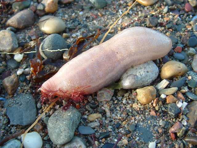 Sea Cucumber (Photograph by Paul Jasper)