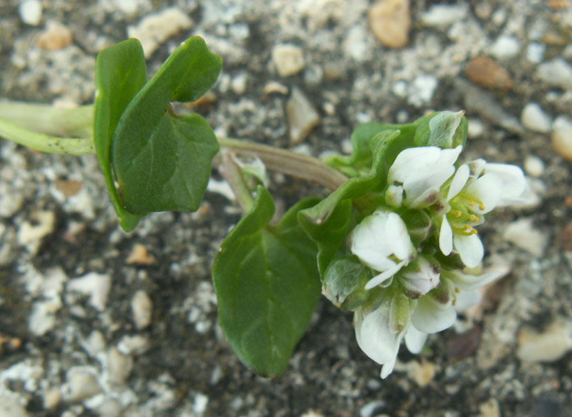 Danish Scurvy Grass (the upper stalks are indactive)