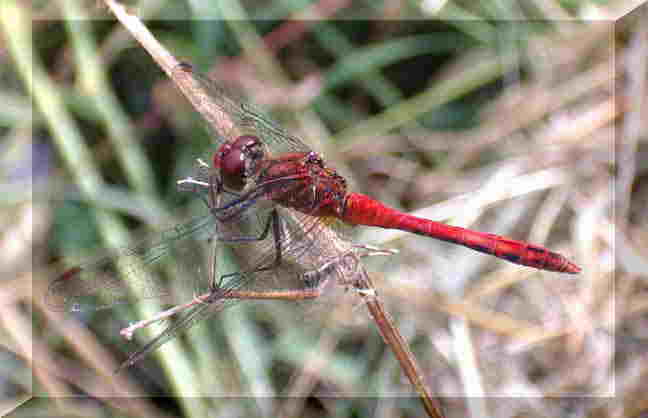 Adur Damselflies and Dragonflies web page