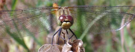 Link to Common Darter images