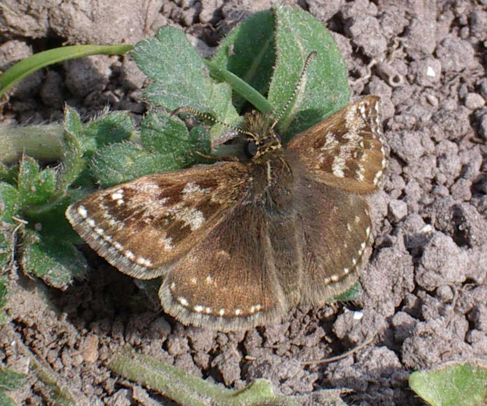 Dingy Skipper (Photograph by Andy Horton)