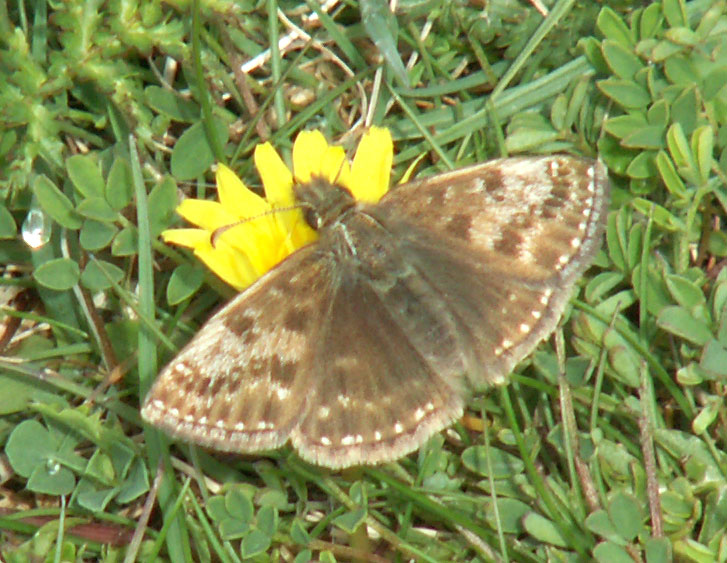 A Dingy Skipper visiting a Dandelion on the lower slopes of Mill Hill