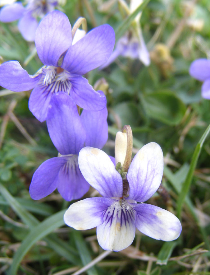 Dog Violets on Mill Hill