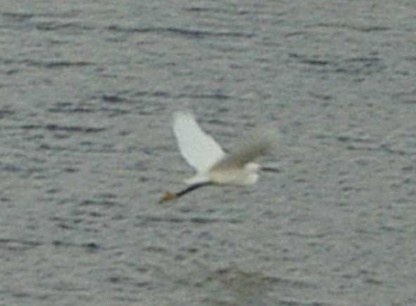 The Little Egret in flight over Widewater (Photograph by Andy Horton)