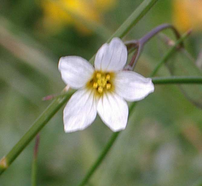 Fairy Flax (a tiny flower)