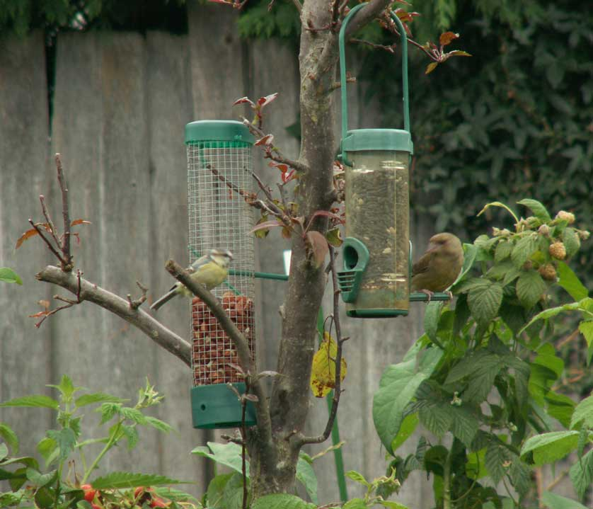 Blue Tit and Greenfinch on the Bird Feeders
