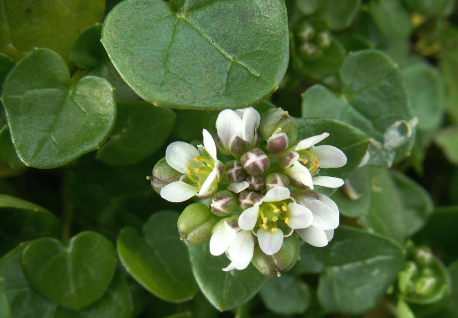Common Scurvygrass, Cochlearia officinalis agg,