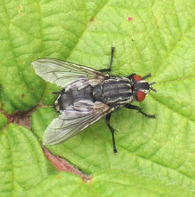 Sarcophaga (Flesh Fly, Blow-fly)