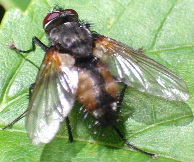 Perhaps, Musca, a house-fly ?