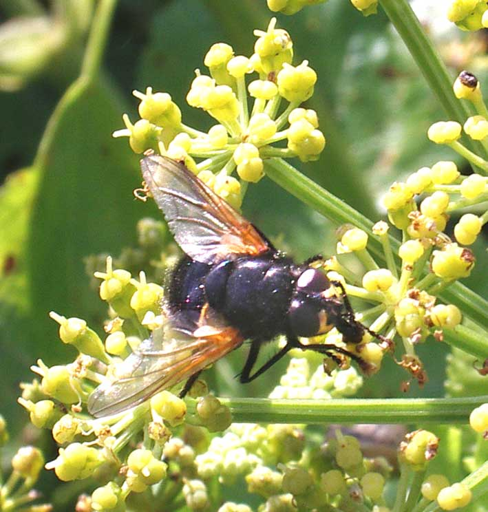 Horse-fly, Mesembrina meridiana