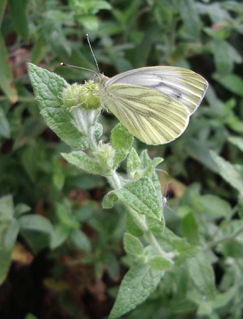 Green-veined White (Photograph by Andy Horton)