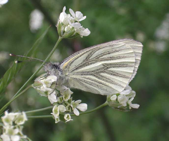 Green-veined White on Cow Parsley