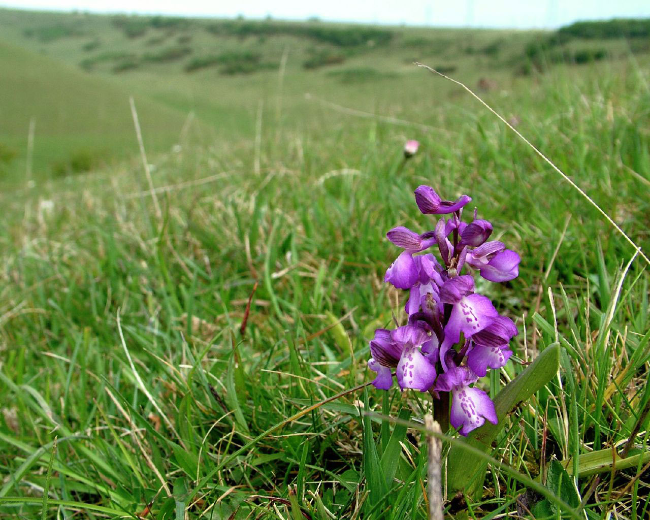 Green-winged Orchid in its habitat (Photograph by Ray Hamblett)