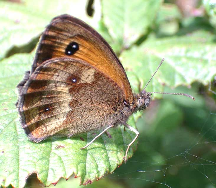 Gatekeeper (smaller than the Meadow Brown)