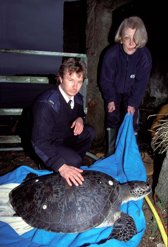 Green Turtle found on Guernsey 1/2003 (Photograph © by Richard Lord, Guernsey)