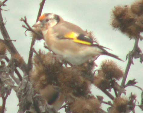 Goldfinch on Teasel (near the Toll Bridge)