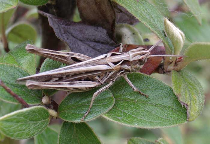 Common Field Grasshopper, Chorthippus brunneus