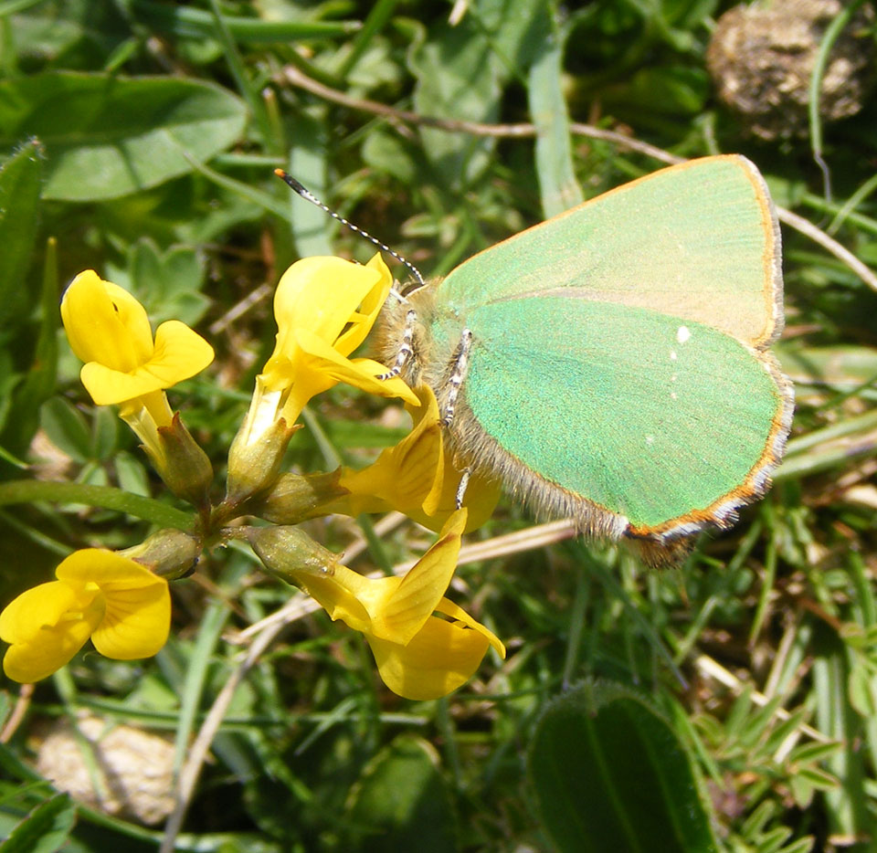 Green Hairstreak on Horseshoe Vetch