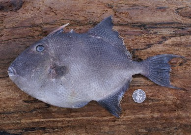 Grey Triggerfish (Photograph by Chris Bainger)