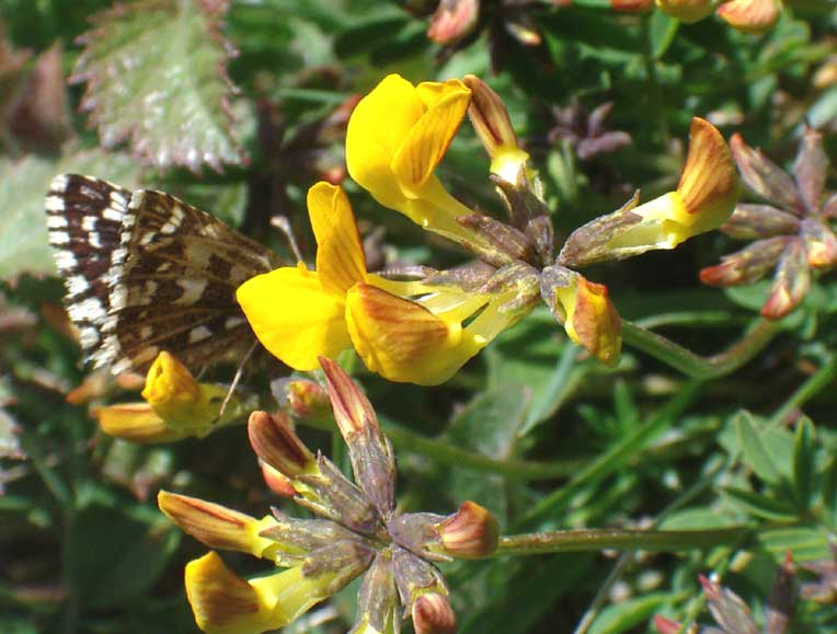 Grizzled Skipper on Horseshoe Vetch