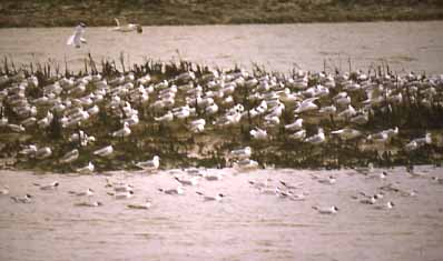 Gulls north of the Tollbridge (Photograph by Andy Horton)