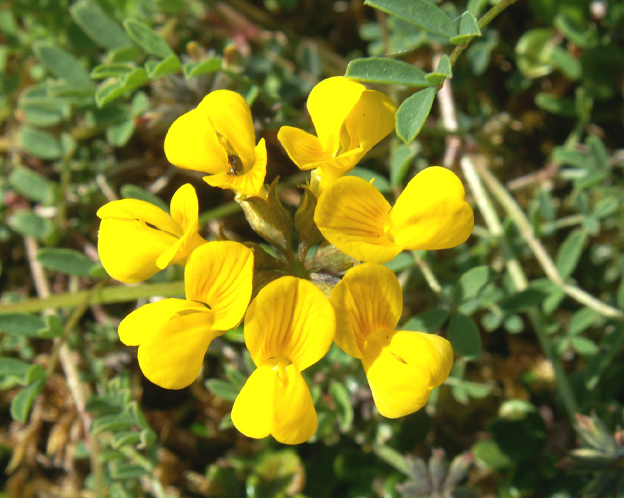 Horseshoe Vetch on Mill Hill