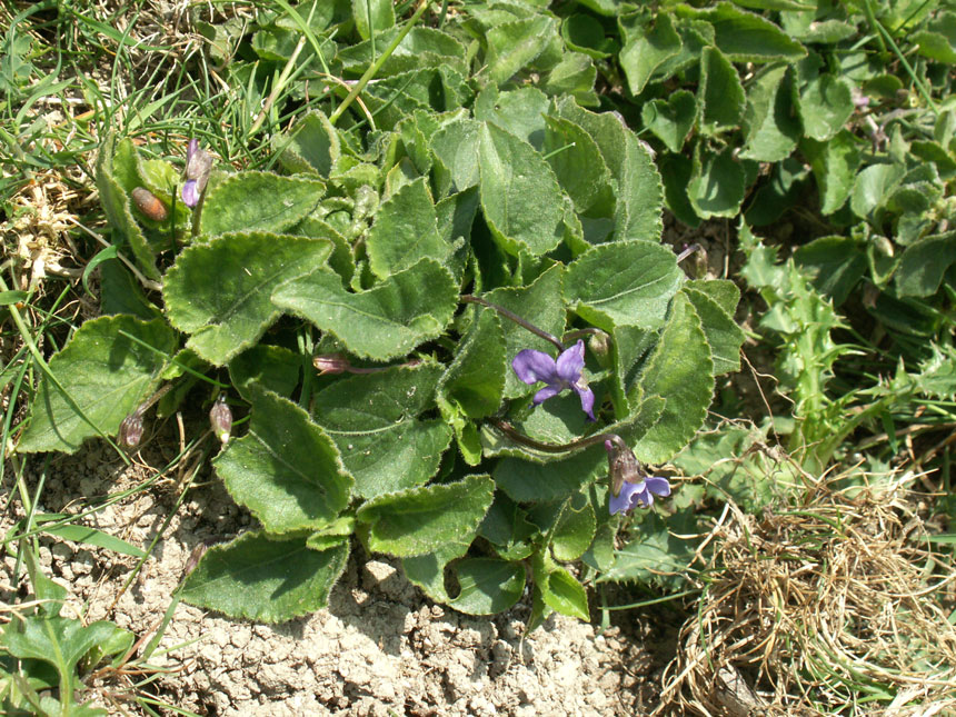 Hairy Violets on Mill Hill