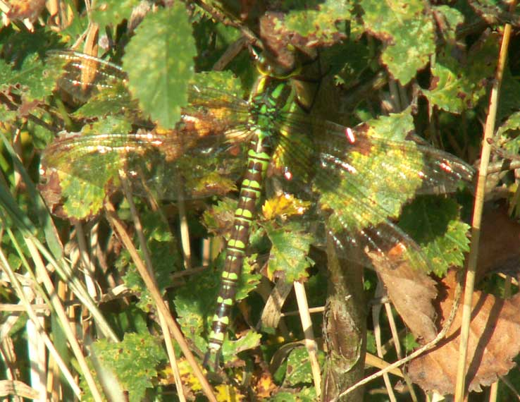 Southern Hawker: even if a dragonfly remains still it is often superbly camouflaged and hard tp pick out from the background foliage