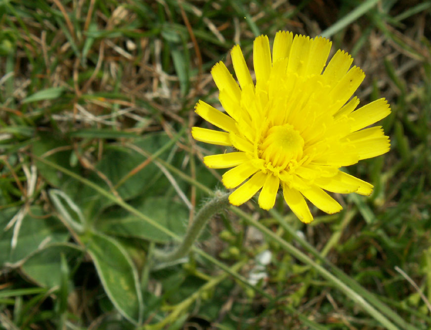Mouse-eared Hawkweed on the Slonk Hill Cutting northern bank
