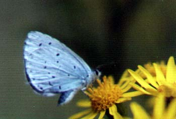 Holly Blue Butterfly (Photograph by Andy Horton)