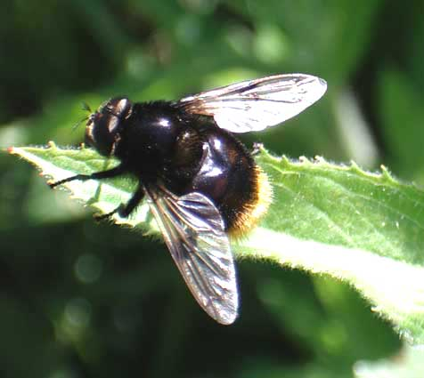 This hoverfly is the bumblebee mimic Volucella bombylans var. bombylans