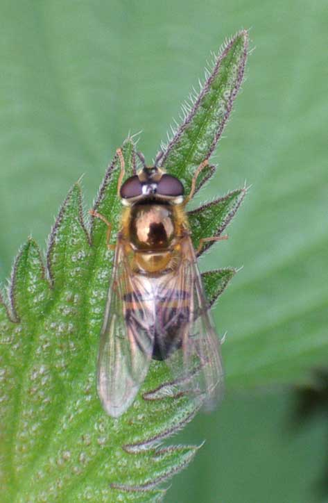 This is probably Eristalis tenax, the Drone Fly