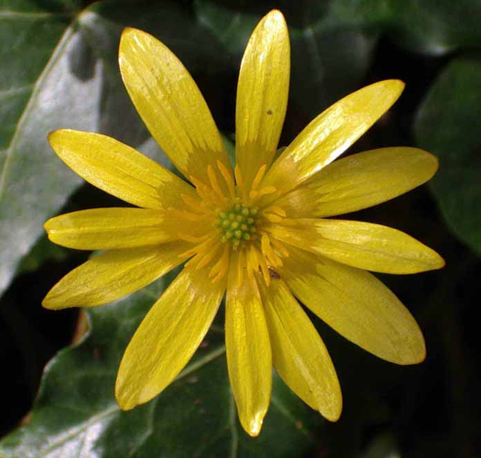 Lesser Celandine (Photograph by Andy Horton)