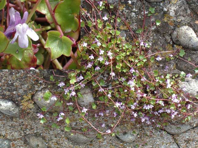 Ivy-leaved Toadflax on an old flint wall in Old Shoreham