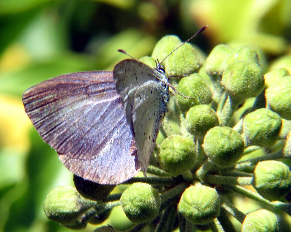 Holly Blue on Ivy