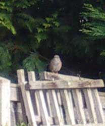 Not a juvenile Robin? more likely a Dunnock
