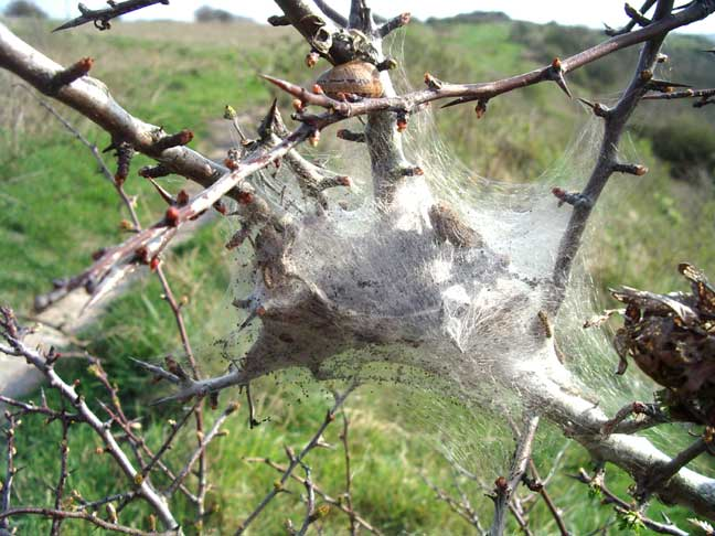 Brown-tail Moth nest (not the Lackey Moth)