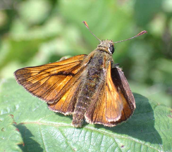 Large Skipper (marginally larger than the Small Skipper)