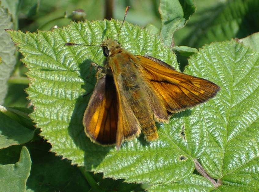 Large Skipper (Photograph by Andy Horton)