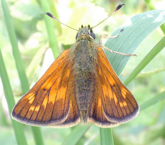 Large Skipper on the Dovecote Bank