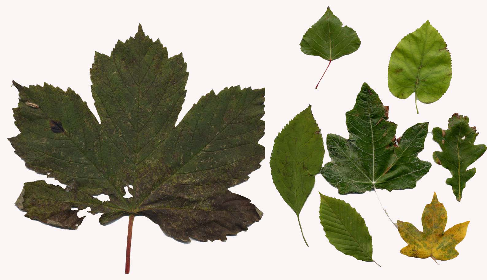A small collection of leaves from the Coombes Road
